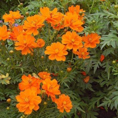 Cosmos sulphureus 'Cosmic Orange' - pillangóvirág