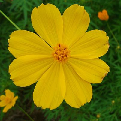 Cosmos sulphureus 'Cosmic Yellow' - pillangóvirág