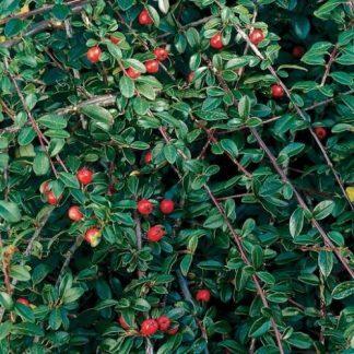 cotoneaster-dammeri-schoon-szőnyegbadárbirs