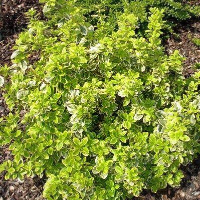 euonymus-fortunei-canadale-gold-kecskerágó2