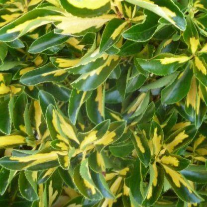 euonymus-fortunei-sunspot-kecskerágó2