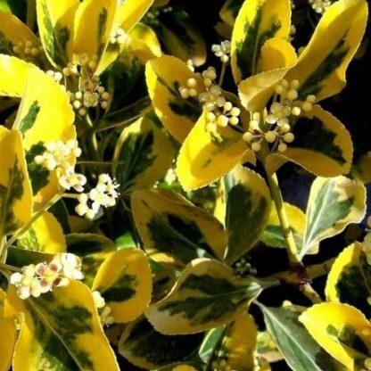 euonymus-japonicus-aureomerginata-japan-kecskerágó2