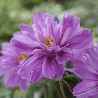 Cosmos bipinnatus 'Fizzy Pink Dark Centre' - pillangóvirág