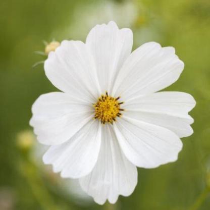 Cosmos bipinnatus 'Gazebo White' - pillangóvirág