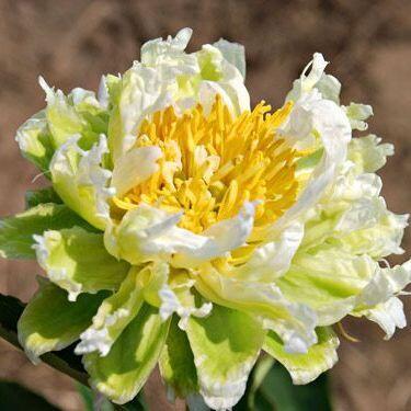 Paeonia lactiflora 'Green Halo' - lágyszárú bazsarózsa