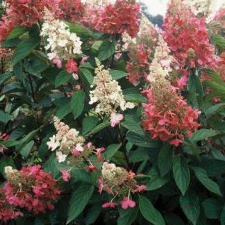 hydrangea-paniculata-bugas-pink-diamond