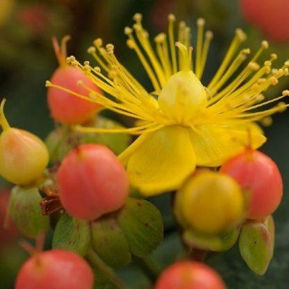 hypericum-indorum-magical-beauty-orbáncfű
