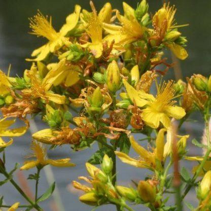 hypericum-indorum-magical-beauty-orbáncfű-virág