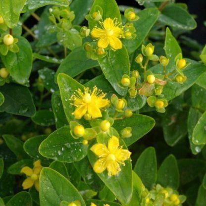 hypericum-indorum-magical-sunshine-orbáncfű