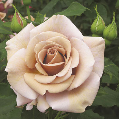 Koko Loko barna/levendula színű floribunda ágyás rózsa