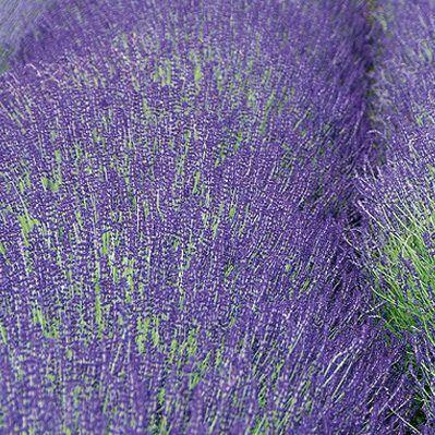 lavandula-angustifolia-miss-dawnderry-levendula2