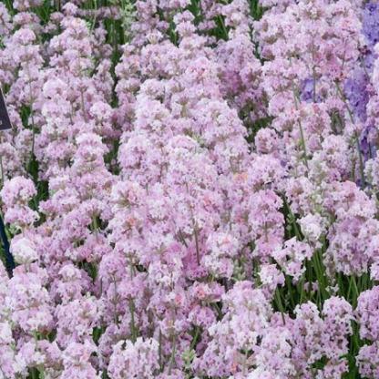 lavandula-angustifolia-rosea-levendula
