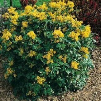 mahonia-aquifolia-mahónia-bokor