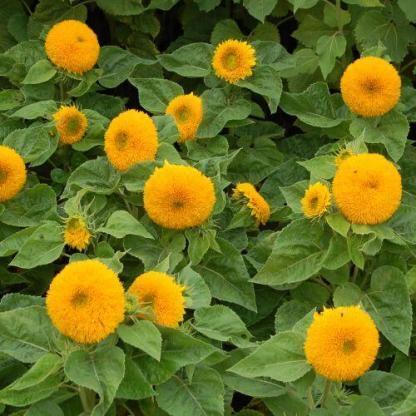 Helianthus annuus 'Orange Sun' - napraforgó