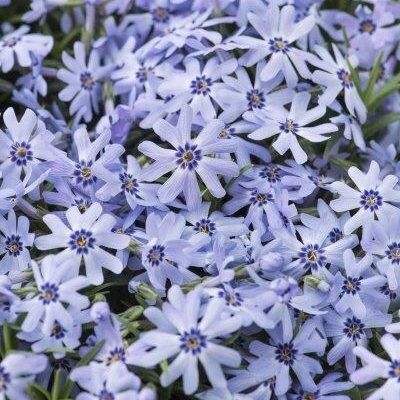 phlox-subulata-fabulous-blue-dark-center-arlevelu-langvirag