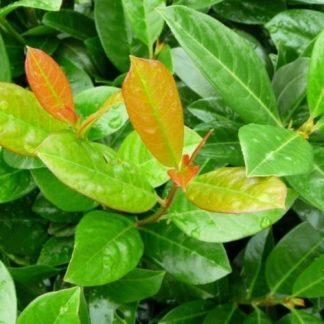 prunus-laurocerasus-antonius-babérmeggy