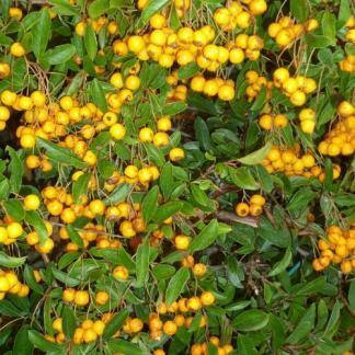 pyracantha-golden-charmer-tuztovis