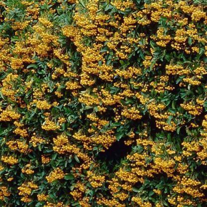 pyracantha-golden-charmer-tuztovis2