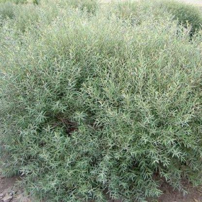 salix-purpurea-nana-törpe-csigolyafűz