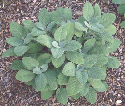 salvia-officinalis-berggarten-orvosi-zsálya