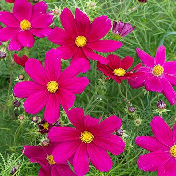 Cosmos bipinnatus 'Sonata Carmine' - pillangóvirág