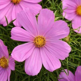 Cosmos bipinnatus 'Sonata Pink' - pillangóvirág