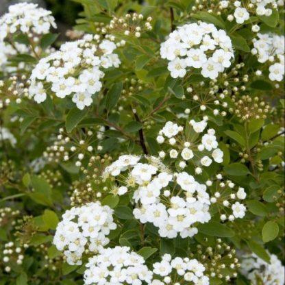 spiraea-vanhuttei-kerti-gyöngyvessző-virág