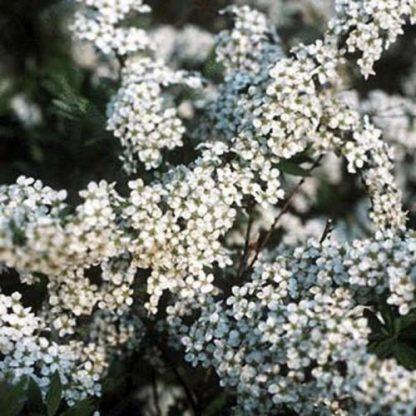 spiraea-x-cinerea-grefsheim-hamvas-gyöngyvessző virága
