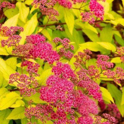 spiraea_japonica_goldflame-japán-gyöngyvessző
