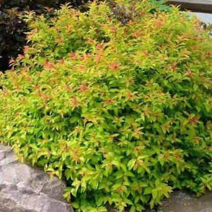 spiraea_japonica_goldflame-japán-gyöngyvessző2
