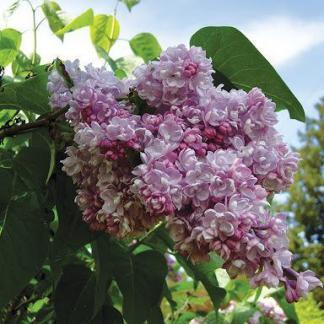 syringa-vulgaris-belle-de-nancy-kerti-orgona
