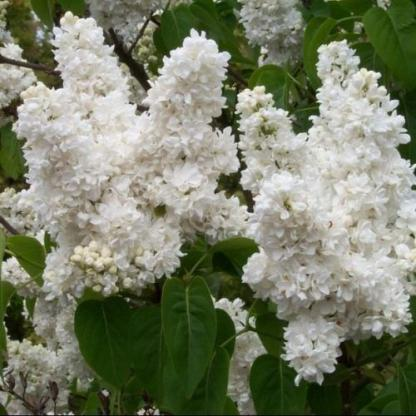 syringa-vulgaris-mme-lemoine-kerti-orgona