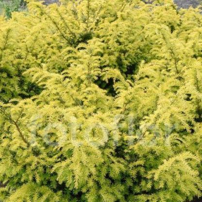 taxus-baccata-golden-carol-tiszafa
