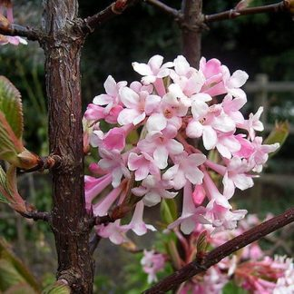 viburnum-bodnantense-dawn-kikeleti-bangita-virág