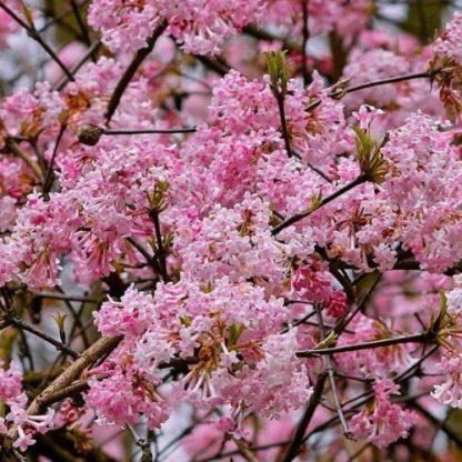viburnum-bodnantense-dawn-kikeleti-bangita virág