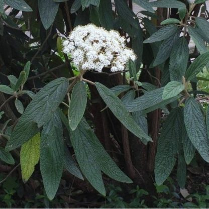 viburnum-rhytidophylloides-holland-ráncoslevelű-bangita