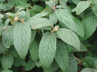 viburnum-rhytidophylloides-willowwood-ráncoslevelű-bangita2