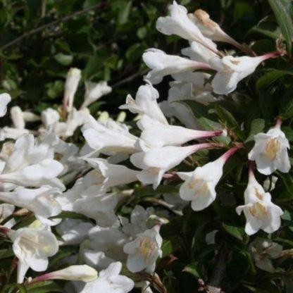 weigela-blackandwhite-rózsalonc-virág