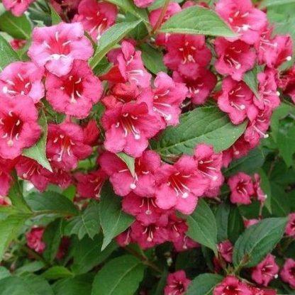weigela-bristol-ruby-rózsalonc virágai