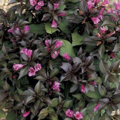 weigela-florida-minor-black-virág-rózsalonc