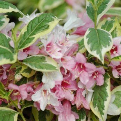 weigela-florida-nana-variegata-virág-rózsalonc