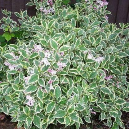 weigela-florida-nana-variegata-virág-rózsalonc2