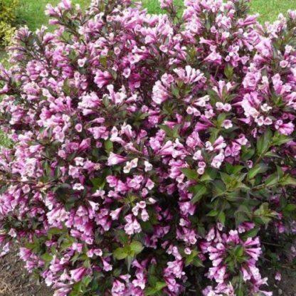 weigela-florida-purpuresa-bokor-rózsalonc