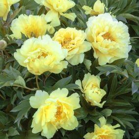 Paeonia Itoh 'Yellow Doodle Dandy' - Itoh bazsarózsa hibrid