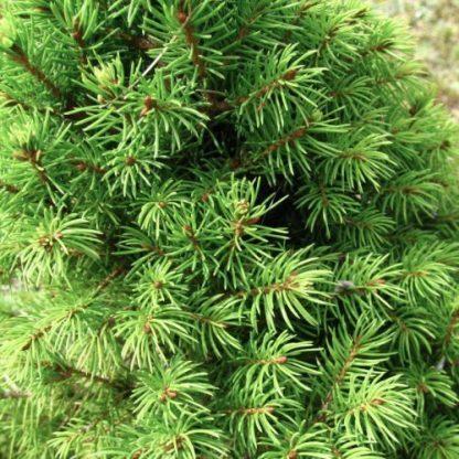 Picea-glauca-conica-cukorsüvegfenyő-2