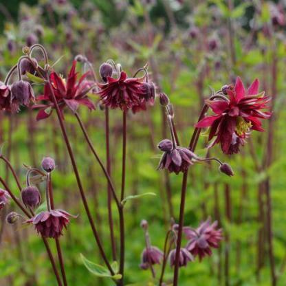 Aquilegia vulgaris 'Bordeaux Barlow' - harangláb