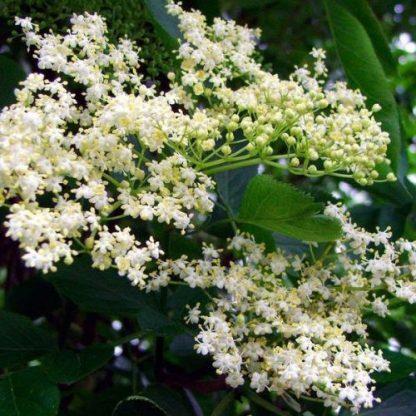 Sambucus nigra - fekete bodza bokor virága