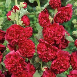 Alcea rosea 'Chater's Scarlet' - mályvarózsa