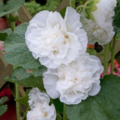 Alcea rosea 'Chater's White' - mályvarózsa