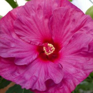hibiscus 54